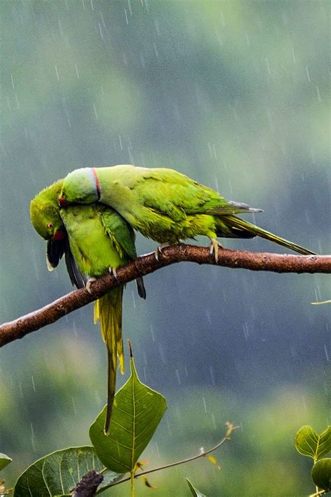 Images Of Love Birds In Rain | love birds pair of parakeets act like loved up teens and