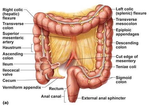 what are the sections of the large intestine regions of large intestine study help pinterest