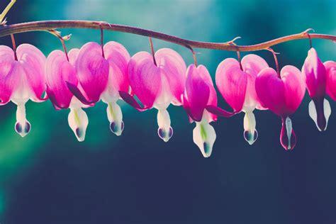 Bleeding Heart Flower Meaning Flower Meaning Bleeding Meaning