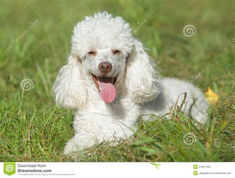 white poodle puppy white poodle puppy in grass royalty free stock images image 21827429
