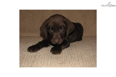 free chocolate lab puppies meet chocolate females a labrador retriever puppy for sale for 600 free