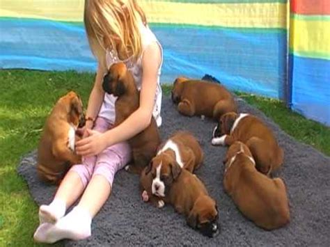 pocket boxer puppies for sale boxer puppies for sale funnydog tv