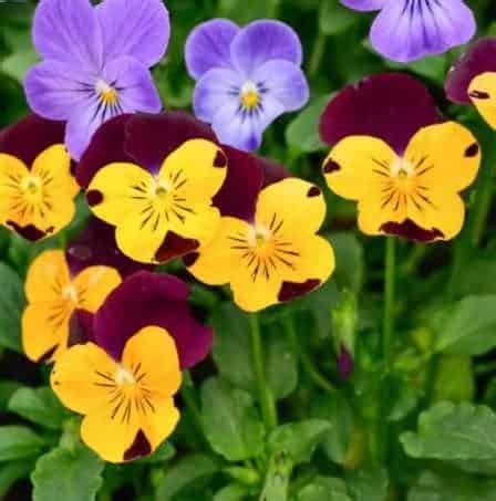 Bibit Bunga Terbaru jual benih bibit tanaman bunga pansy terbaru bibit