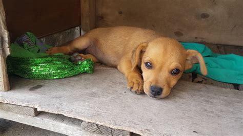 cani piccola taglia pelo corto da appartamento cani piccola taglia pelo corto in regalo duylinh for