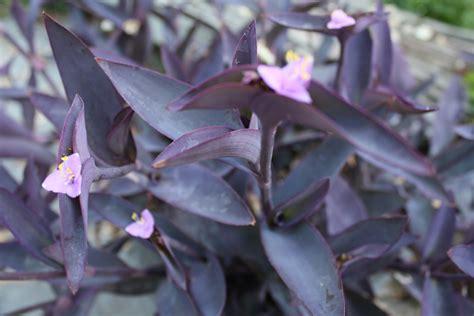 purple heart donna s garden