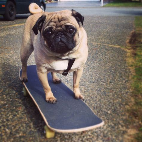 pug skateboard fisto dude can you do this ign boards