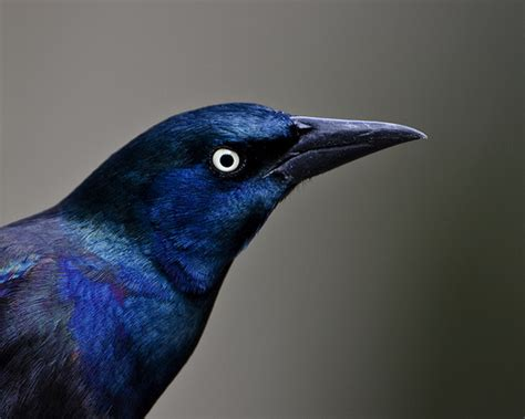 purple grackle flickr photo sharing