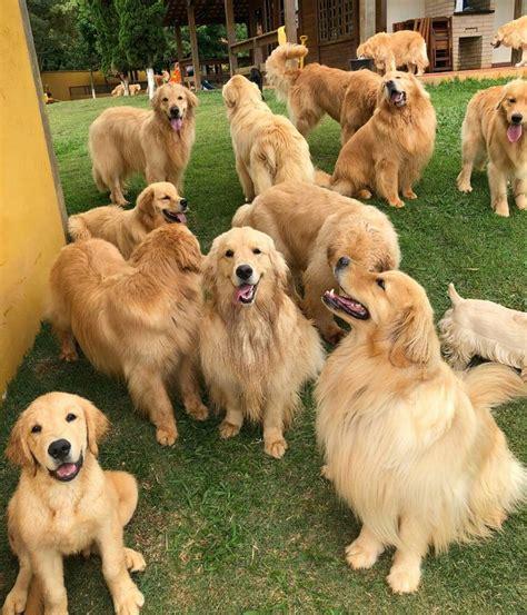 golden retriever pin best 25 golden retrievers ideas on golden retriever puppies retriever