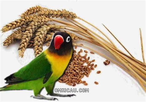 Milet Dongkrak Biji Gandum Untuk Dongkrak Stamina Dan Mengatasi Burung