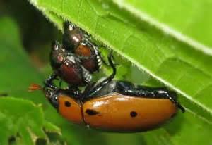 Backyard Zoo Attempted Interspecies Mating Mating Japanese Beetles