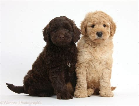 goldendoodle puppy toys 17 best images about goldendoodle on