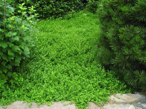 Green Carpet Rupturewort Seeds by Ground Covers For Pathways Home Wizards