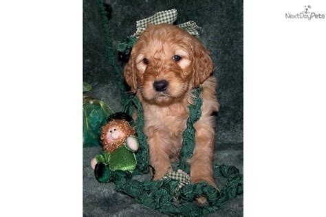 doodle puppies for sale in missouri goldendoodle puppy for sale near joplin missouri