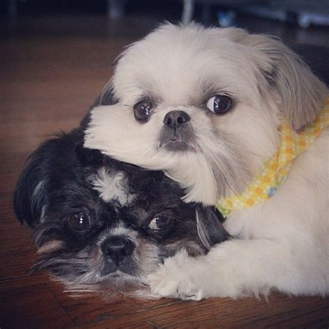 shih tzu with children 12 reasons why shih tzus are dangerous dogs