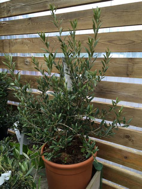 entretenir olivier en pot rempoter taille et arrosage