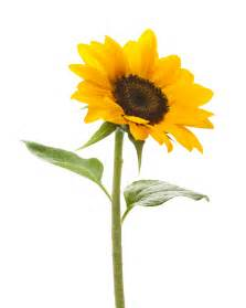 Sunflower Outline Png by Sunflower