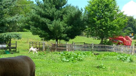 Backyard Herds Lgd Puppies Due In August Backyardherds