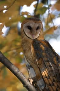 Barn Own Barn Owl