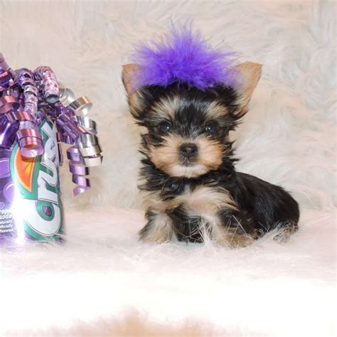 micro yorkie teacup micro teacup yorkies car interior design