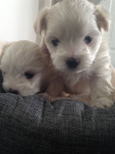 shih tzu cross puppies for sale beautiful maltese shih tzu cross puppies for sale shrewsbury shropshire pets4homes