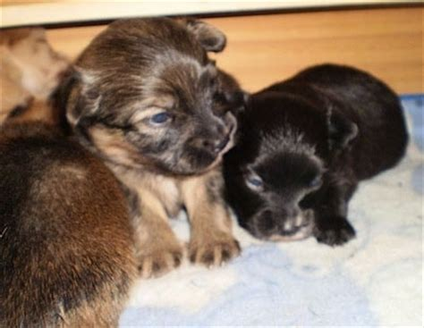 3 week pomeranian puppies paperanian breed information and pictures