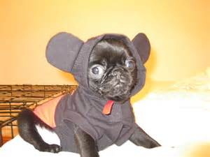 Smith in his mickey mouse costume so cute pugsireland blog
