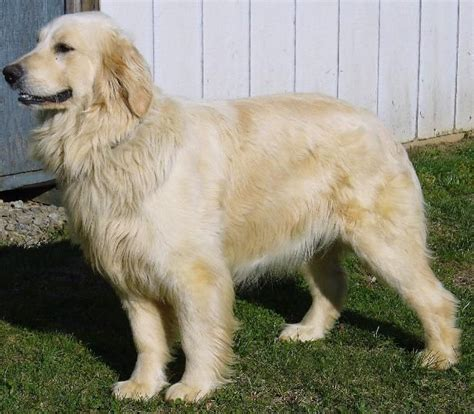 golden retriever grown grown our golden retriever puppy
