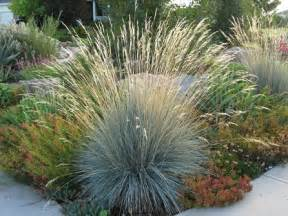 cutting back ornamental grasses anne clark design