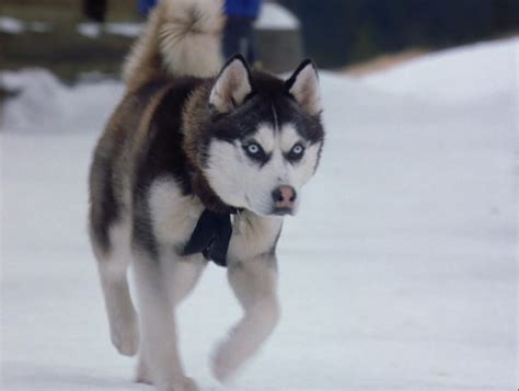 snow puppies siberian huskies images from snow dogs wallpaper and background photos 32170988