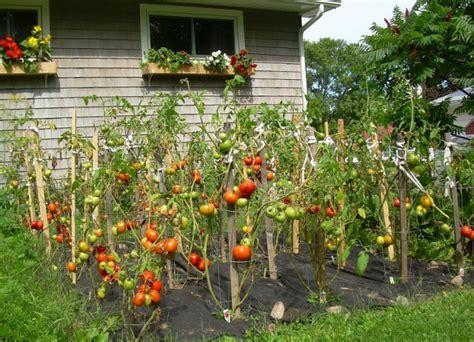 Backyard Tomatoes by Beautiful Tomato Garden 10 Vegetable Garden Tomatoes
