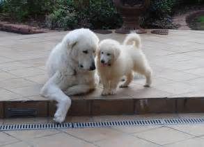 kuvasz dog and a puppy photo and wallpaper beautiful