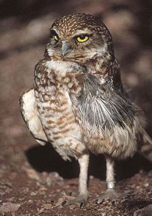 are owls legal pets in california image search results