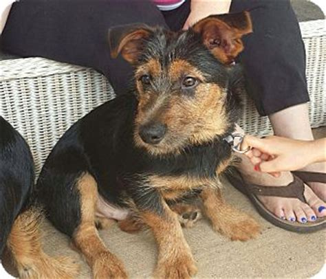 yorkie german shepherd mix gogh adopted puppy hockessin de german shepherd yorkie