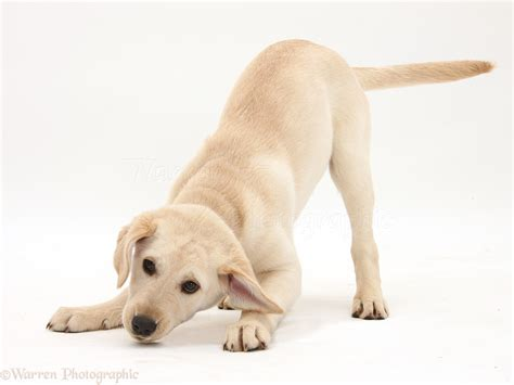 playful puppies playful yellow labrador retriever puppy photo wp41592