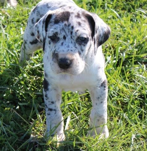 akc puppies akc great dane puppies offer 310