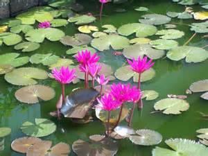 Lotus Pond Markku Tiuri Home Page