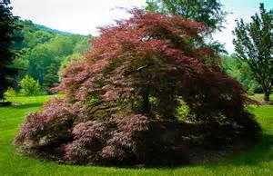 Tall Flowering Shrubs For Shade - crimson queen japanese maple the tree center