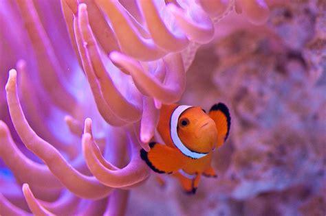 anemone finding nemo sea anemone finding nemo www pixshark images