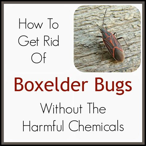 how to get rid of bed bugs without an exterminator cessco inc how do you kill boxelder bugs