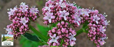 alimenti miorilassanti i benefici della valeriana la collina dei fiori contro