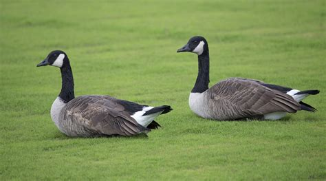 images of geese don t feed the geese fairfax county government