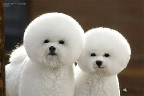 fluffiest puppies 13 exclusive fluffiest dogs seen