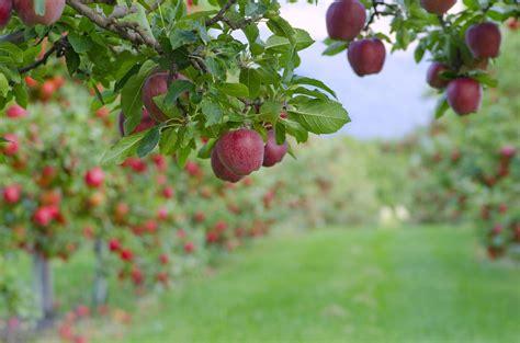 varieties  apple trees