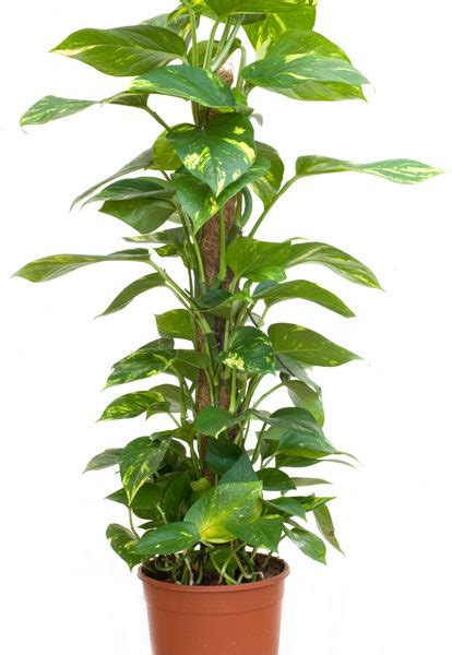 where to buy herb plants money plant