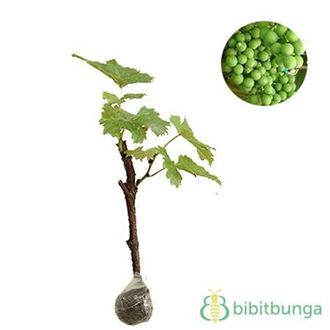 Prologo Plaintouch Kode Barang 10056 tanaman anggur hijau belgia bibitbunga