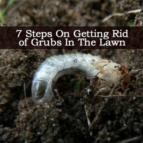 7 steps on getting rid of grubs in the lawn lawn