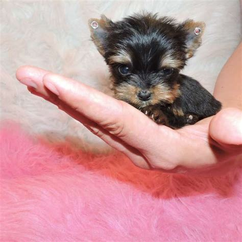 yorkie in a teacup tiny teacup yorkie puppy for sale doll teacup yorkies sale