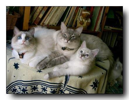 Gats Zu 0003 els quatre gats criadors de gats ragdoll els nostres