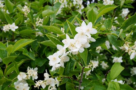 early flowering shrubs once early summer shrubs finish flowering it s time to