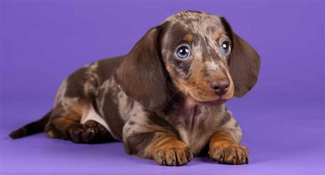 dachshund colors dapple dachshund not just a pretty coat color